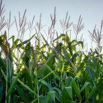 gmo-crop