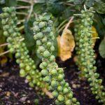 How do Brussels Sprouts grow? Check them out on the stem.