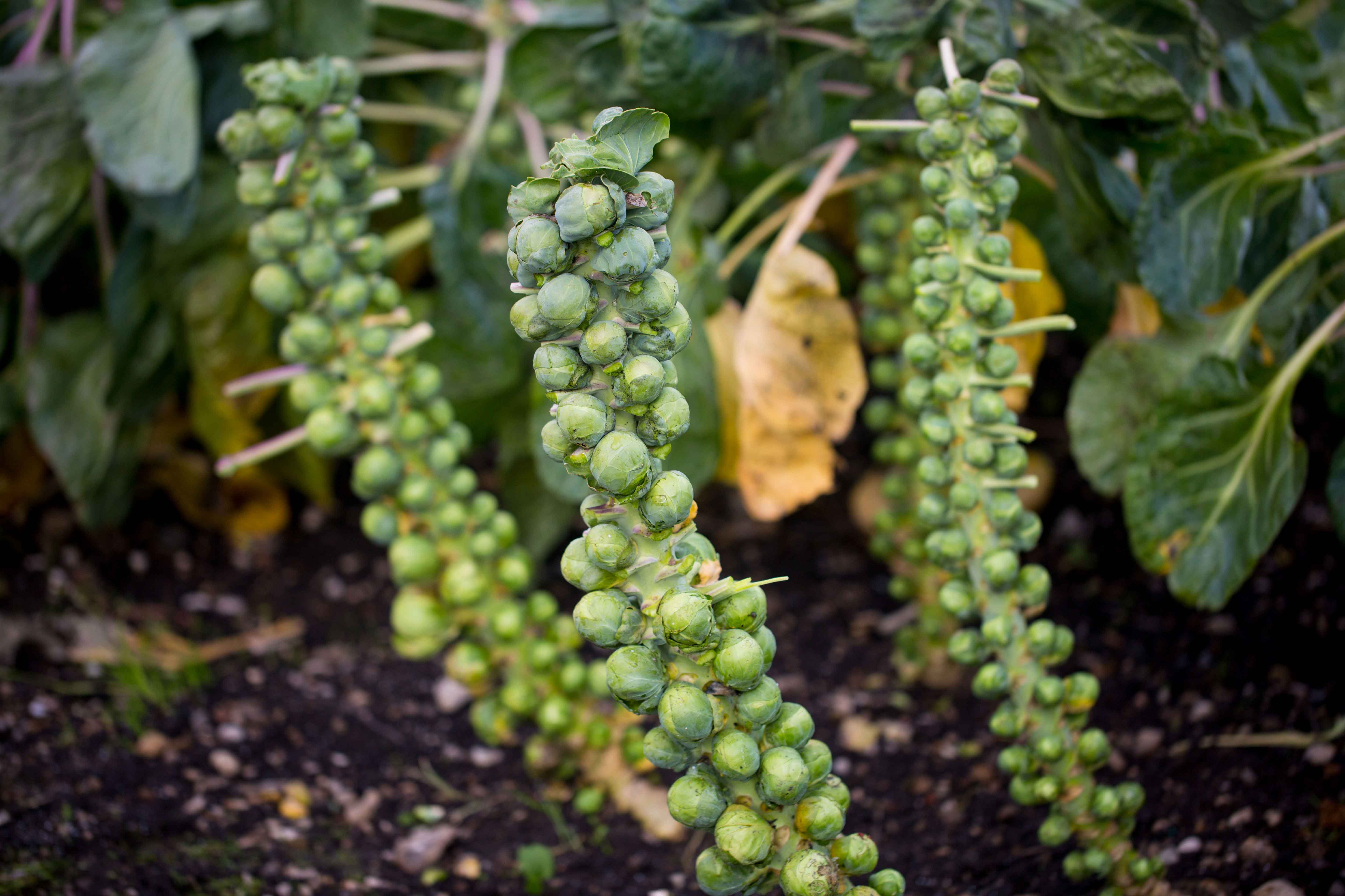 Brussels-Sprouts-Still-on-the-Stem